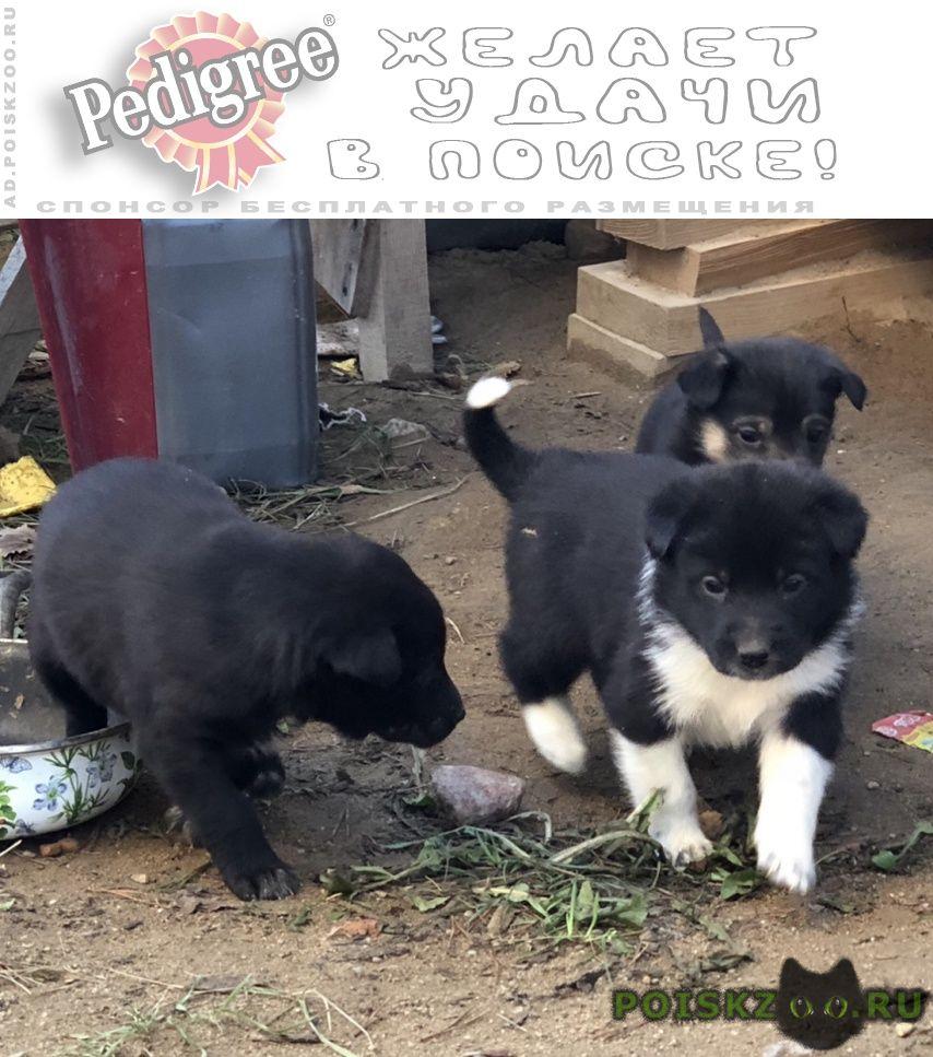 Найдена собака щенки дворняшки г.Сертолово