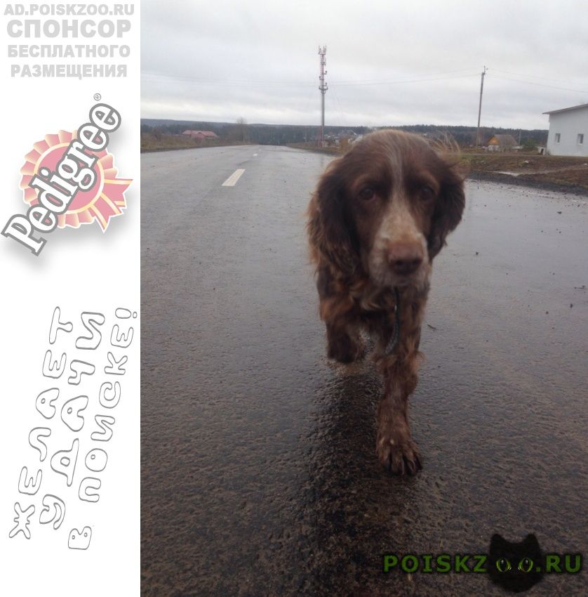 Найдена собака спаниель г.Пермь