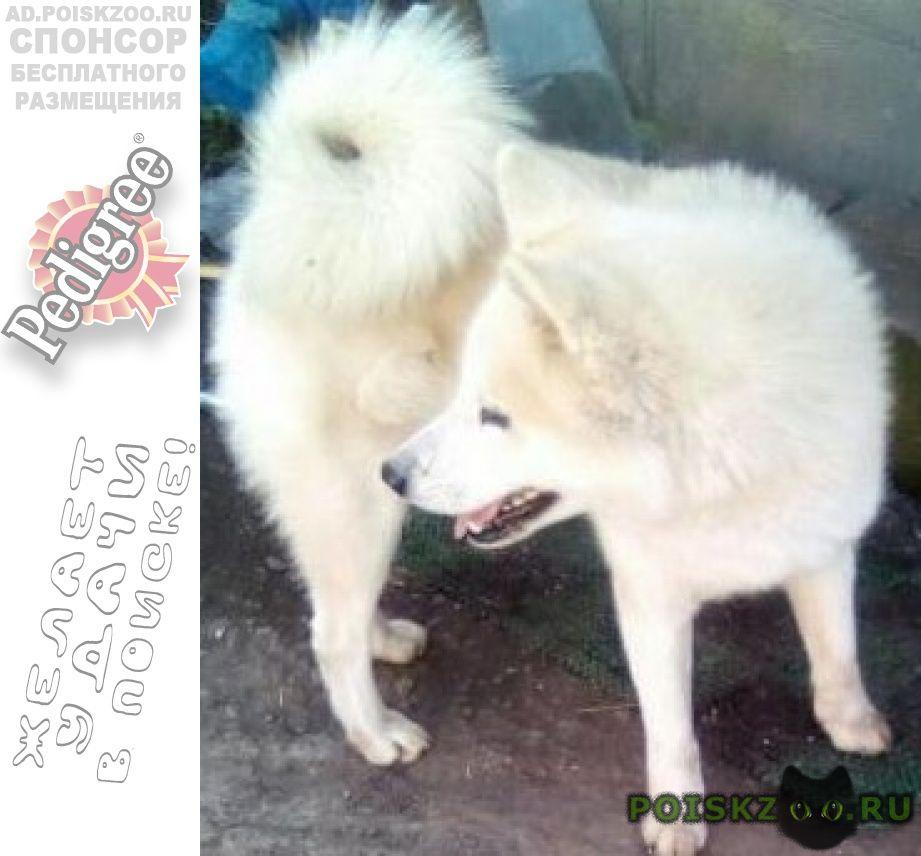 Найдена собака кобель сиба-ину г.Ильский