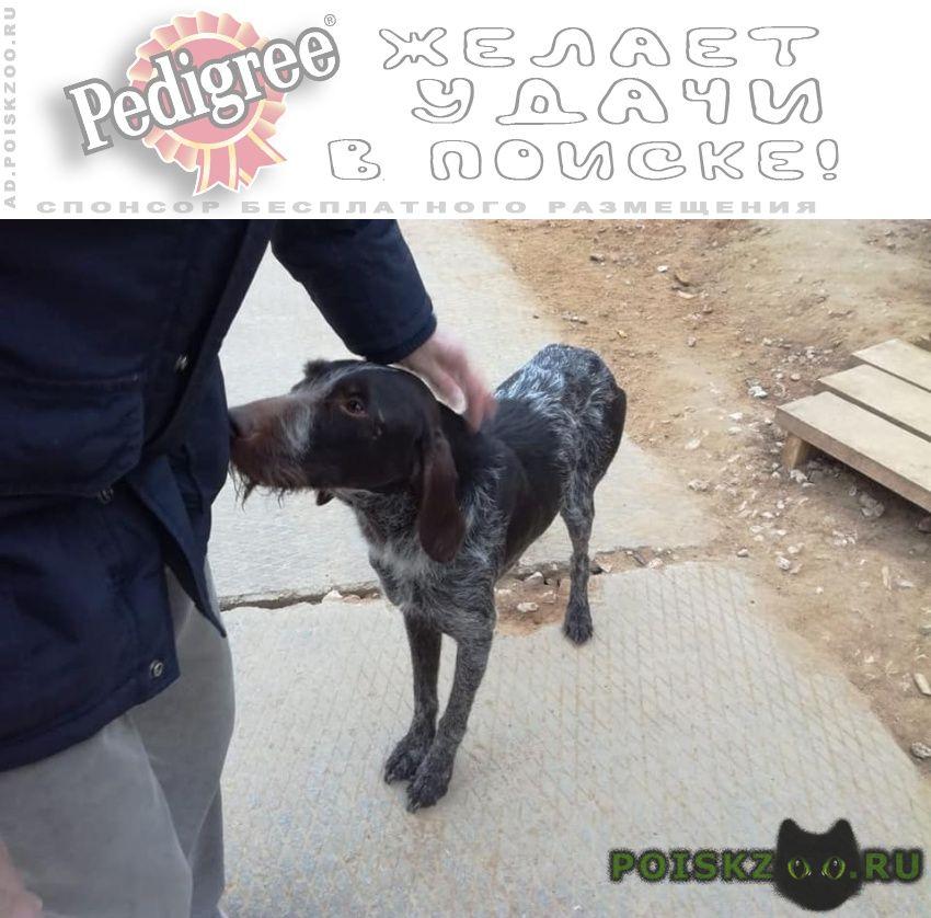 Найдена собака сука дратхаара г.Красногорск