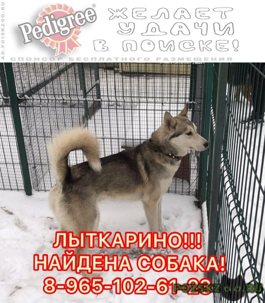 Найдена собака кобель лайка в г.Лыткарино