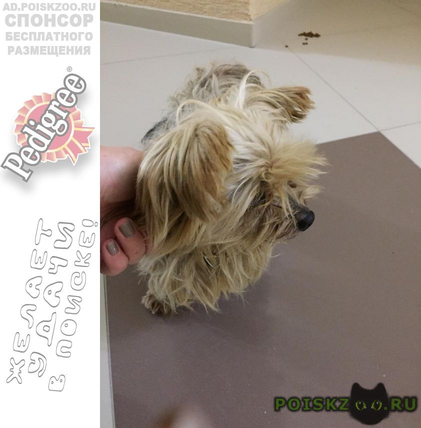Найдена собака девочка йорк г.Геленджик