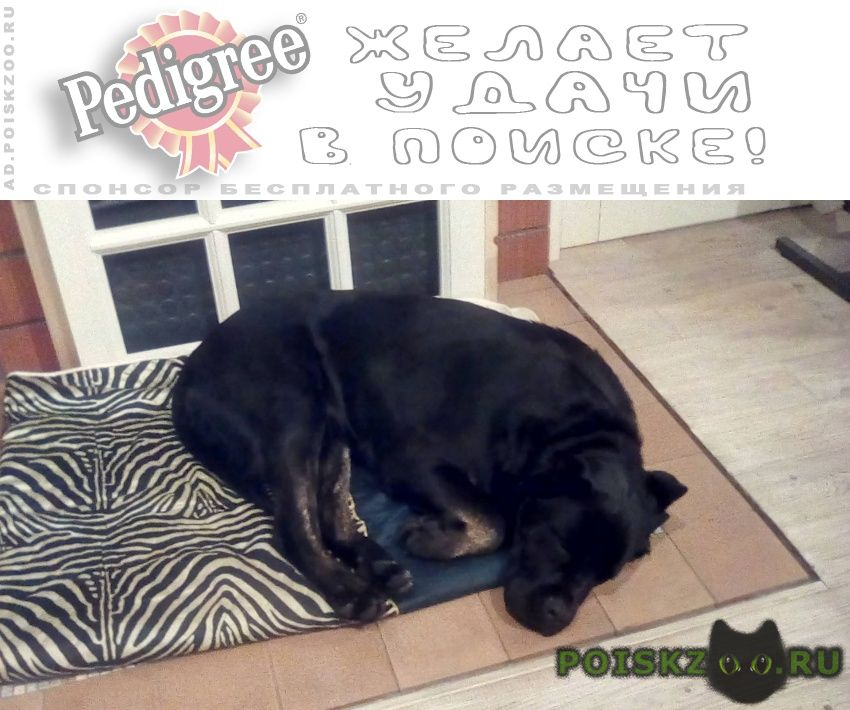 Найдена собака девочка кане-корсо г.Солнечногорск