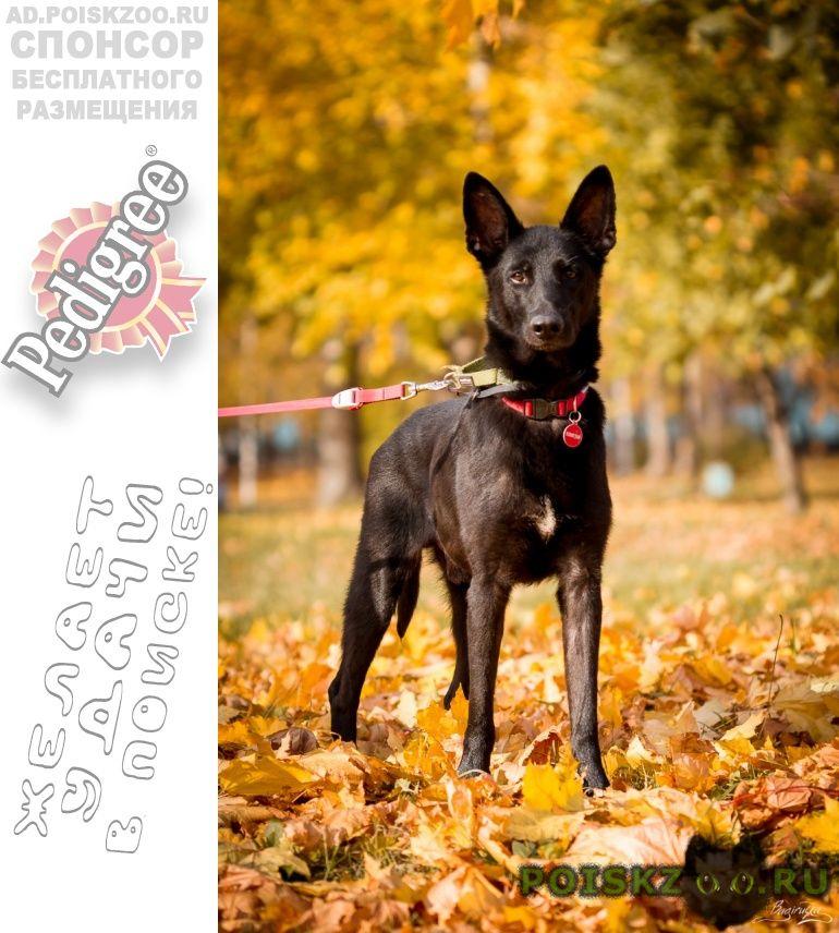 Найдена собака кобель черный ласковый пёс похож на овчарку г.Москва