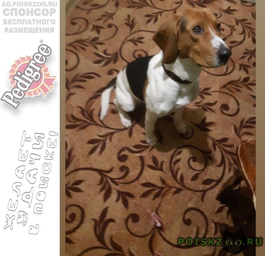 Найдена собака кобель 9.01 гончая поселение никоновское г.Раменское