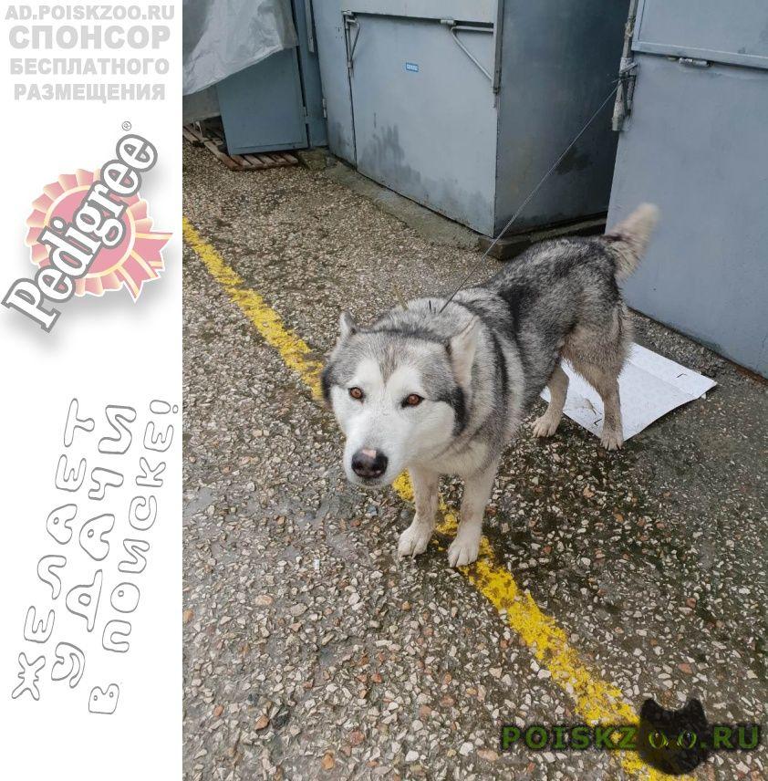 Найдена собака хаски девочка г.Севастополь