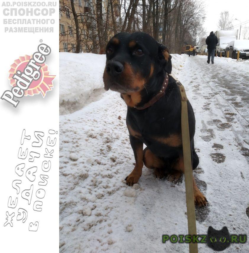 Найдена собака кобель ротвейлер г.Москва