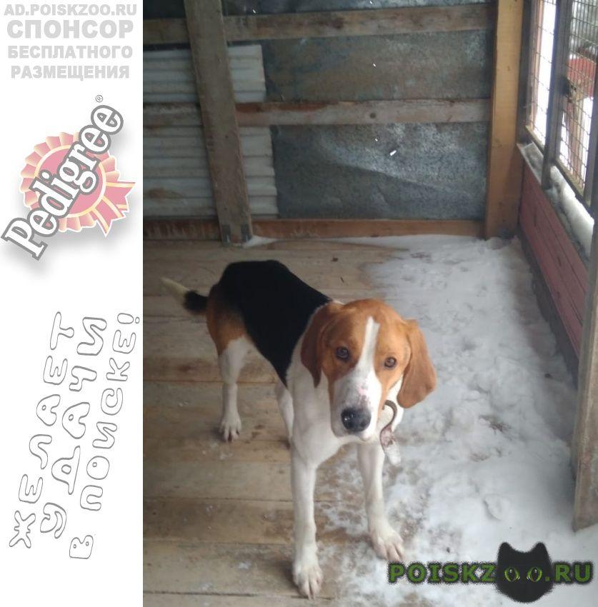 Найдена собака русская пегая гончая кубинка- г.Нарофоминск