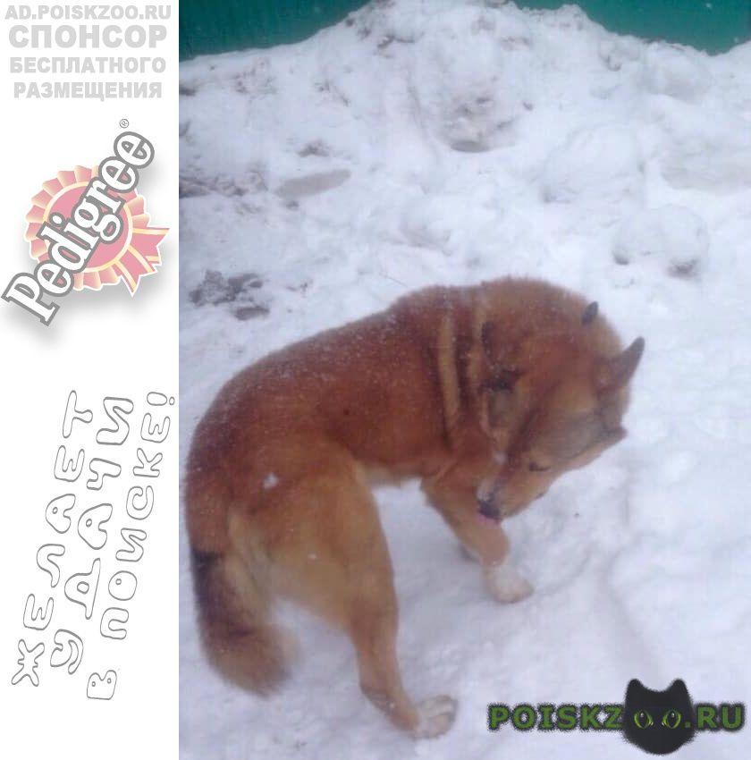 Найдена собака кобель рыжий г.Москва