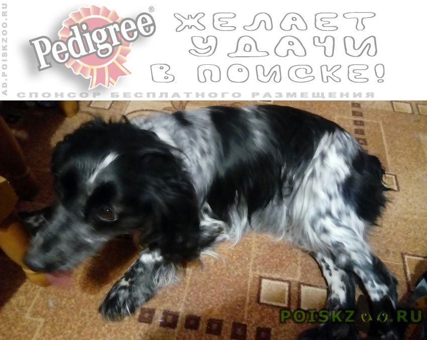 Найдена собака 25.01 спаниель студгородок г.Гагарин