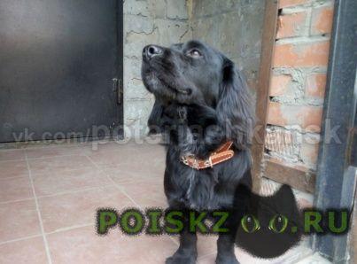 Найдена собака кобель спаниеля 5 месяцев г.Новосибирск