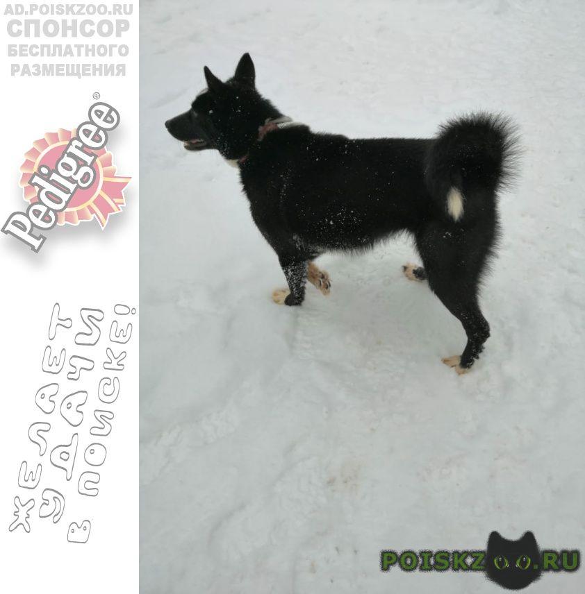 Найдена собака кобель ы две лайки г.Высоковск