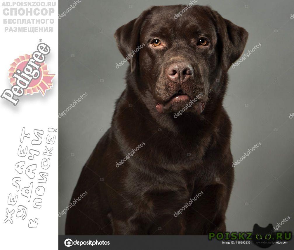 Найдена собака кобель шоколадный лабрадор ретривер г.Санкт-Петербург