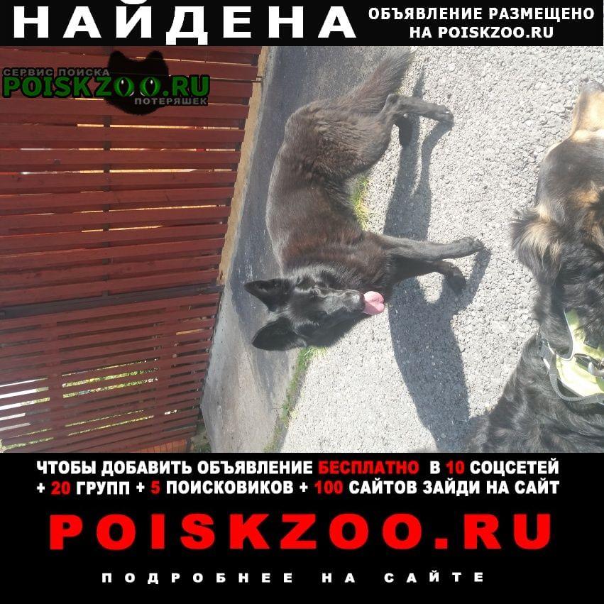 Найдена собака черная овчарка Домодедово