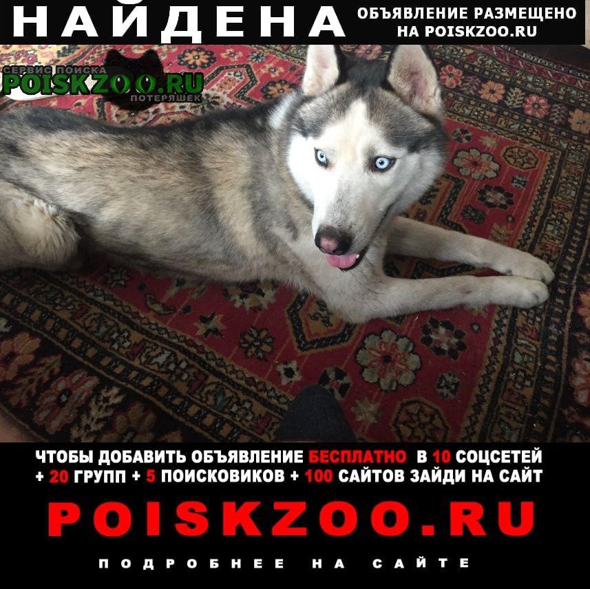 Найдена собака кобель хаски Невинномысск