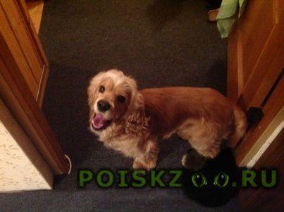 Найдена собака кобель спаниель г.Калининград (Кенигсберг)