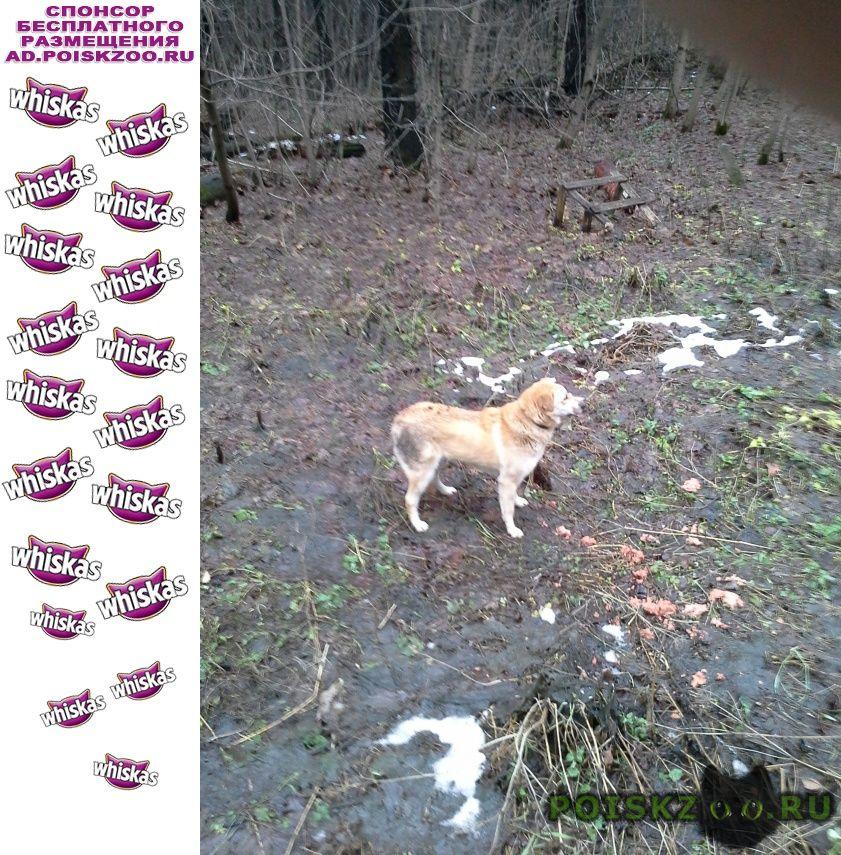 Найдена собака, салтыковка пес живет в лесу не г.Балашиха