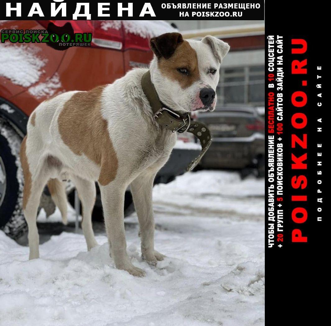 Найдена собака метис стаффа, самец. район бауманской Москва