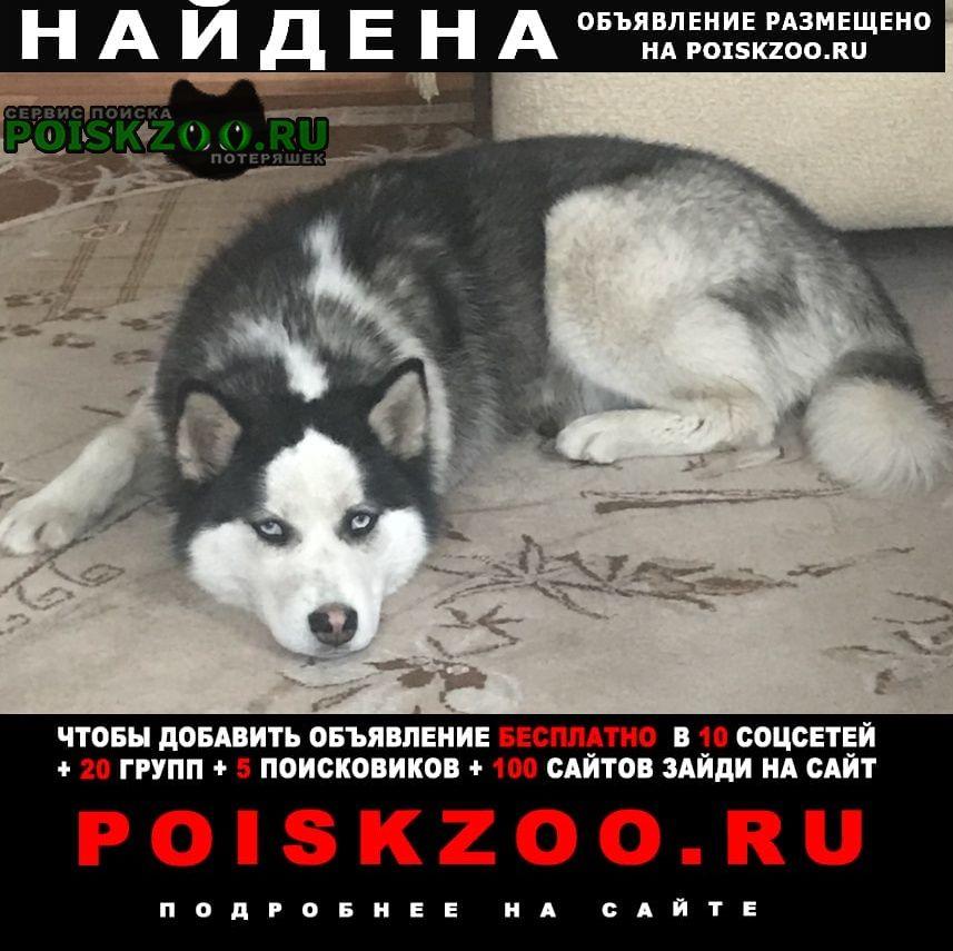 Найдена собака хаска девочка Москва