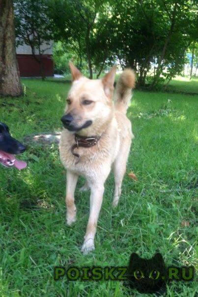 Найдена собака кобель светло-рыжий, добряк и умничка г.Москва