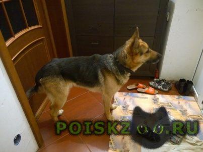 Найдена собака кобель молодой, похож очень на овчарку. г.Шебекино