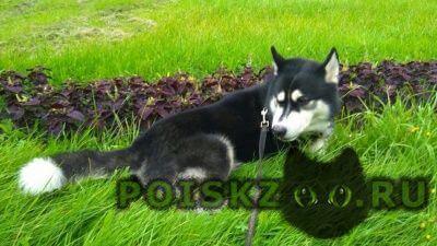 Найдена собака кобель хаски🐾 спб - фрунзенский р г.Санкт-Петербург