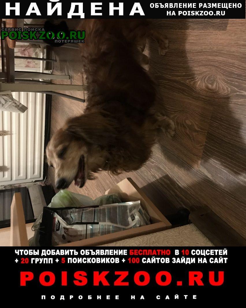 Найдена собака кобель таксы Санкт-Петербург