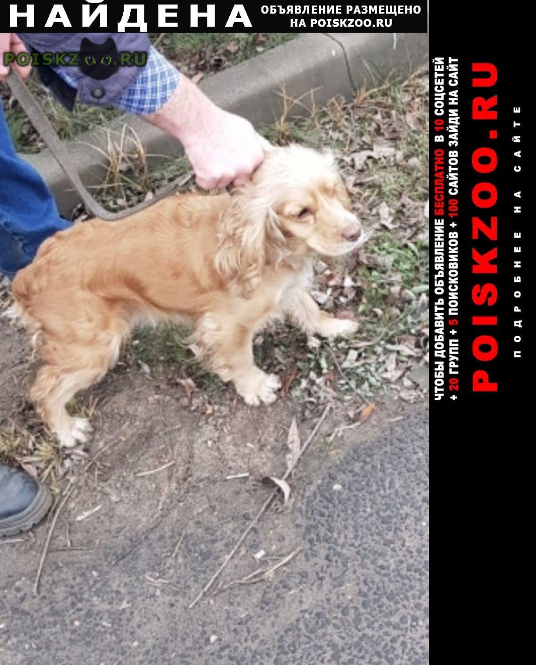 Найдена собака спаниель московская область г.Реутов