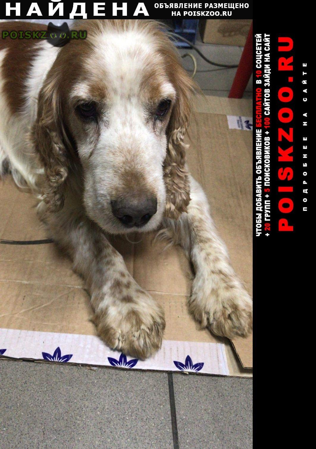Найдена собака кобель кокер спаниель реутов г.Москва