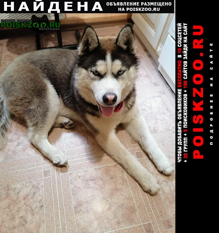 Найдена собака кобель молодой хаски месяцев 8-ми Подольск