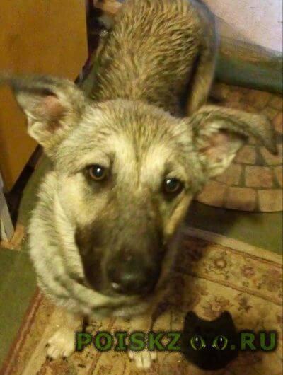 Найдена собака метис, в породе есть овчарка г.Пушкино