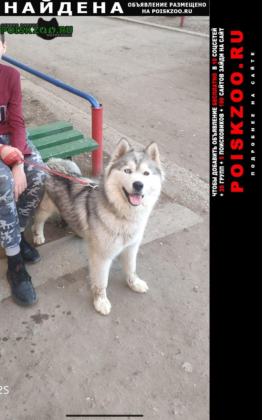 Найдена собака девочка хаски без клейма Энгельс