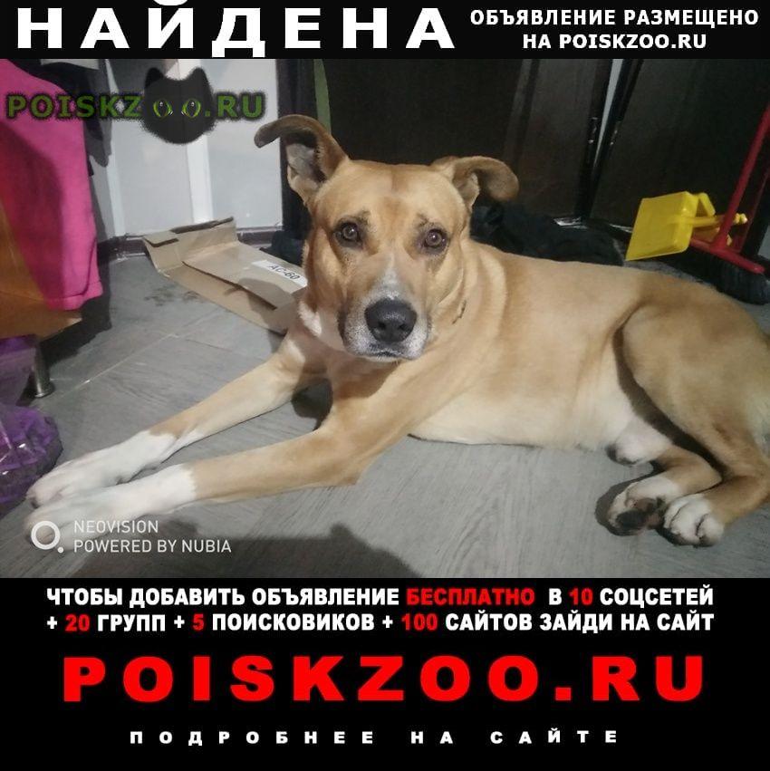 Найдена собака кобель метис, стафф, молодой, кожаный ошейник, г.Москва