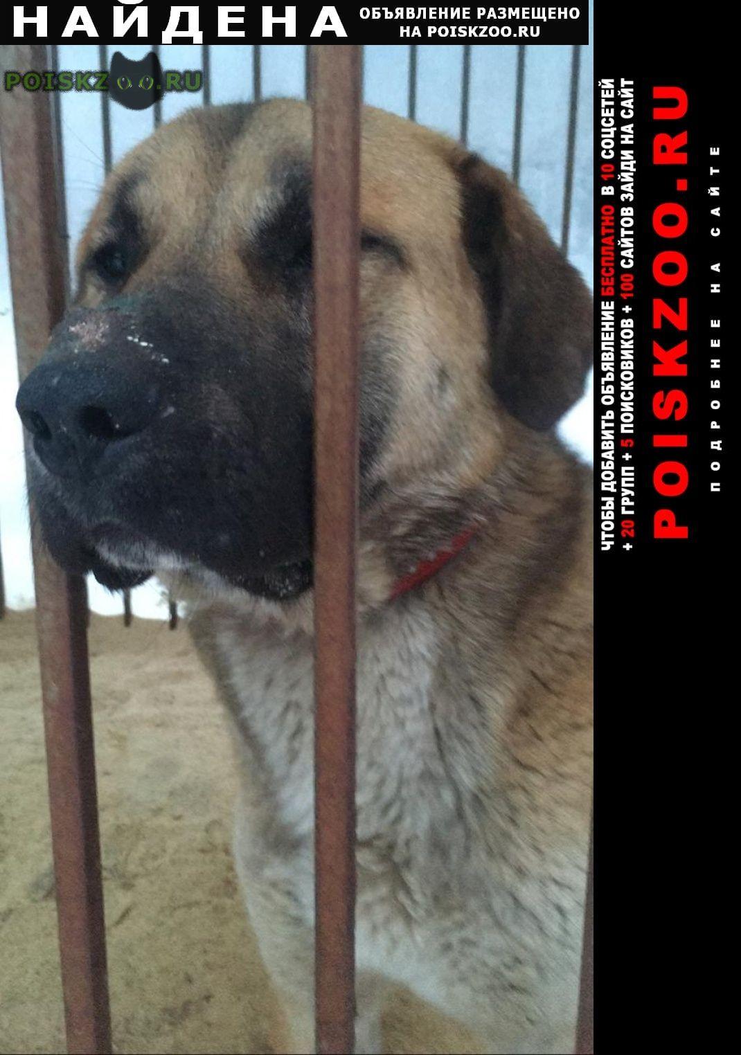 Найдена собака кобель анатолийская овчарка (метис) Пушкино