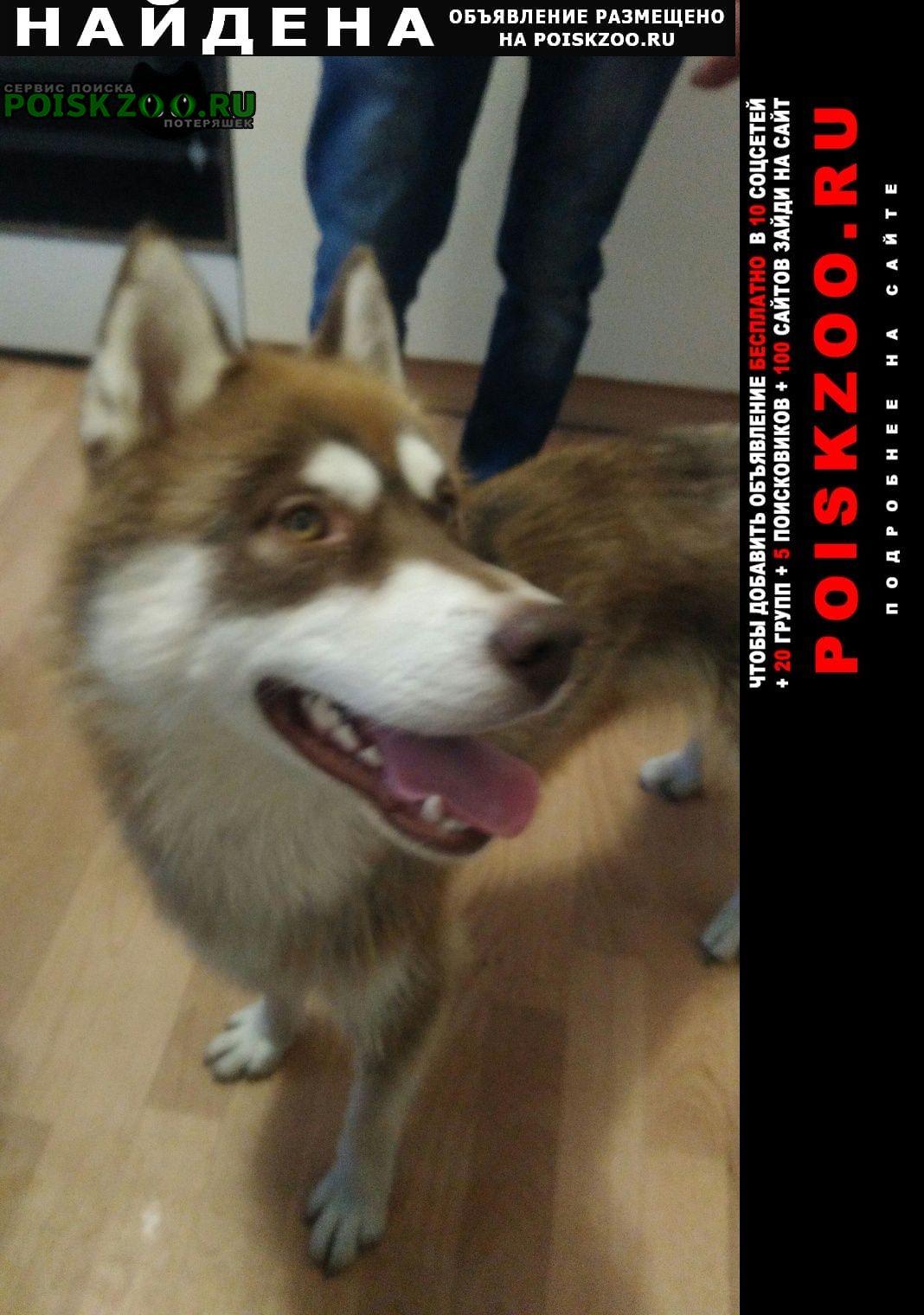 Энгельс Найдена собака кобель сибирский хаски