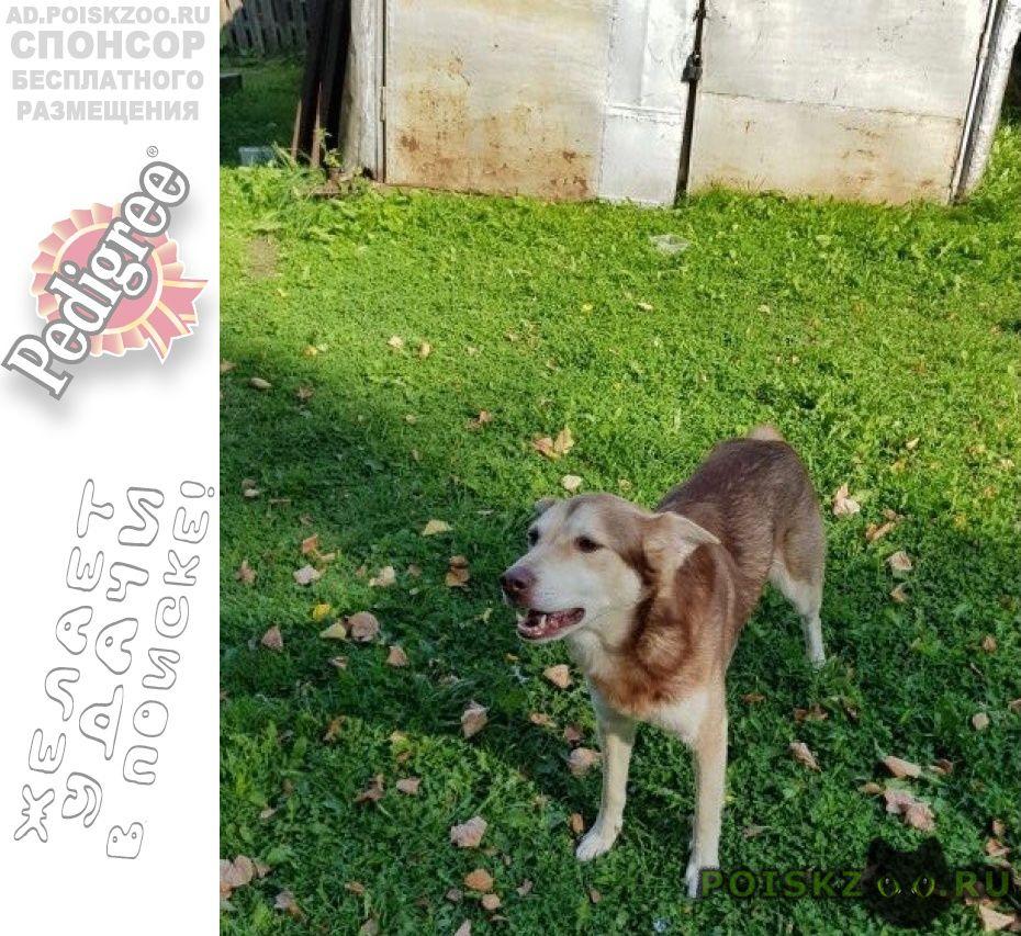 Найдена собака кобель г.Шуя