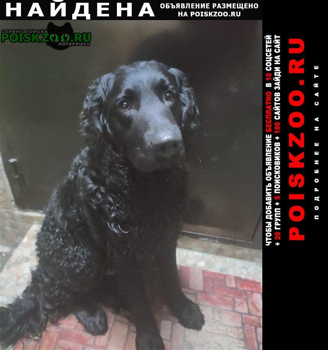Найдена собака лабрадор или метис Ростов-на-Дону