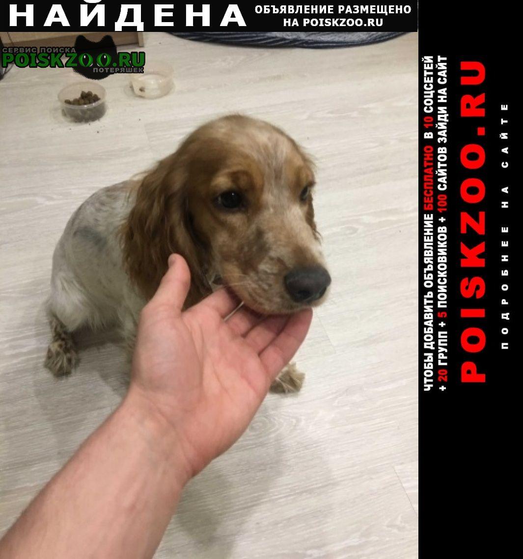 Найдена собака спаниель г.Ивантеевка (Московская обл.)