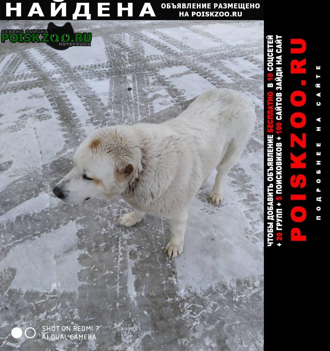 Найдена собака алабай сука белого цвета Чебоксары