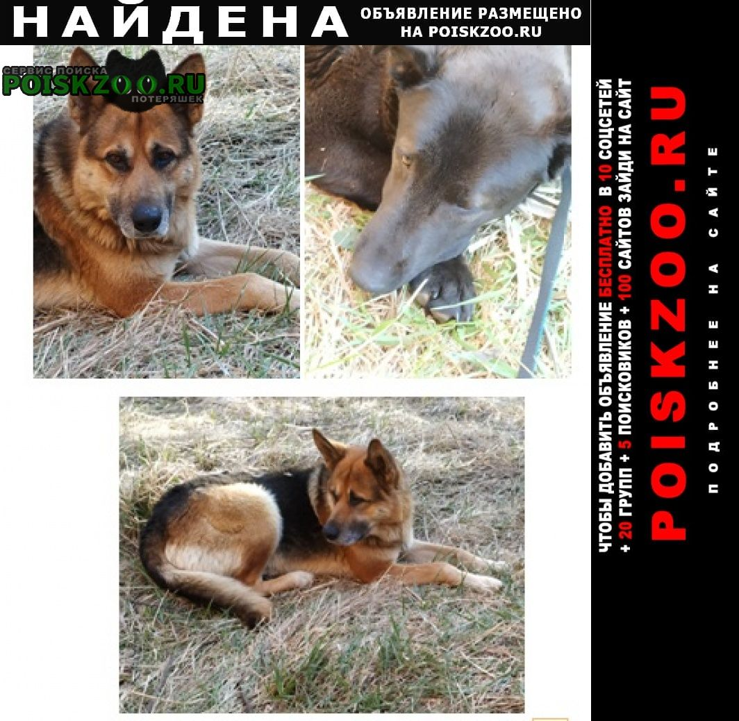 Найдена собака овчарка и метис лабрадора Можайск