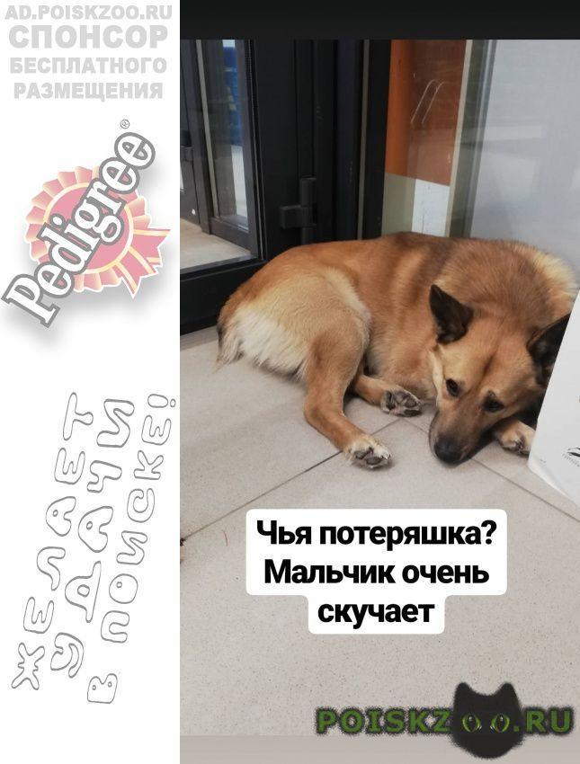 Найдена собака кобель светло рыжий с купированный хвост г.Екатеринбург