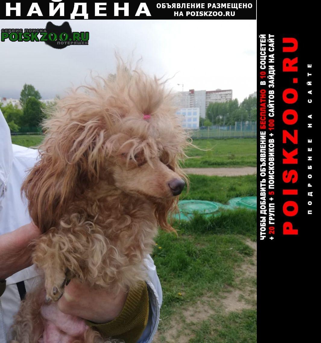 Найдена собака сука кормящая пудель персиковый люблино г.Москва