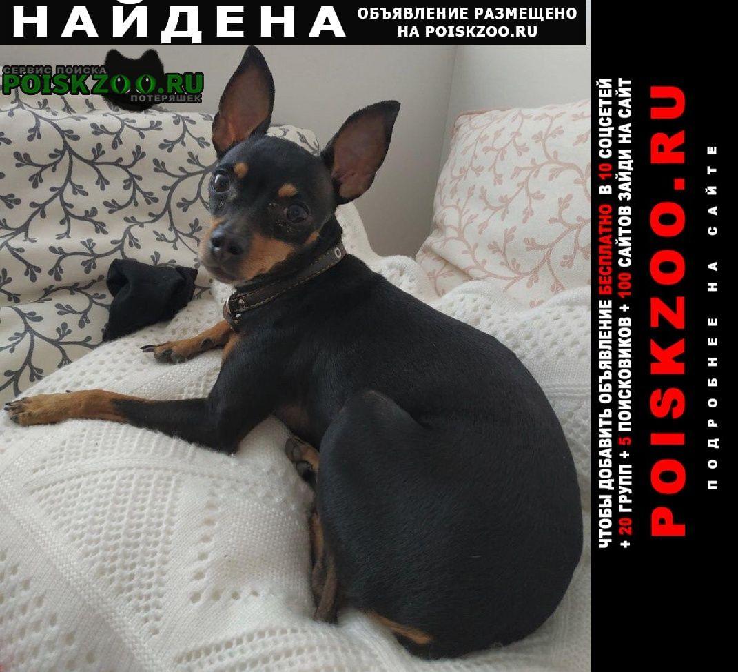 Найдена собака тойчик - девочка г.Красноярск