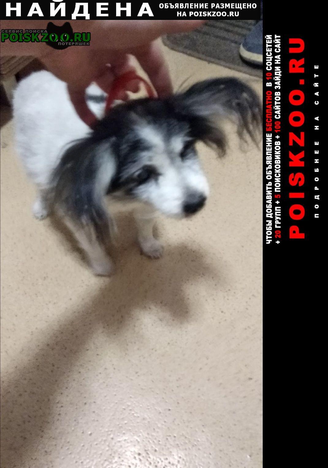 Найдена собака пожилой папильон г.Севастополь