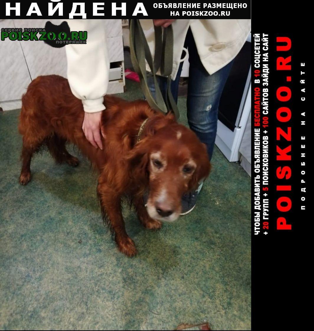 Найдена собака 22.05 сеттер спаниель г.Пушкино