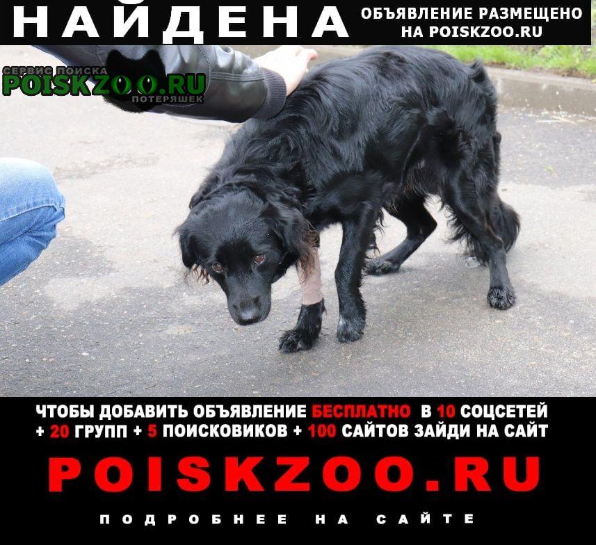 Найдена собака кобель метис спаниель г.Коломна