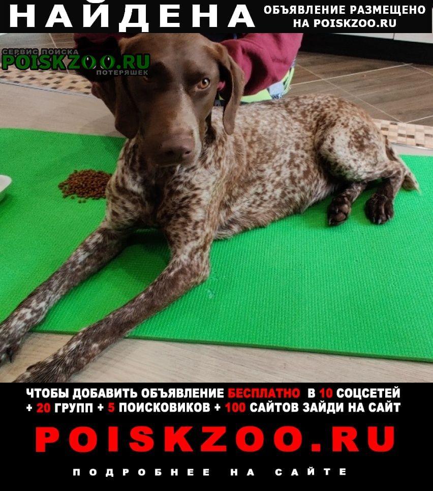 Найдена собака курцхаар, девочка, юмр г.Краснодар