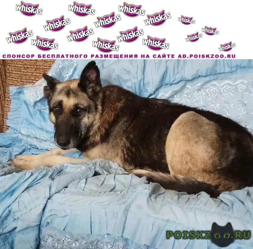 Найдена собака сука вео г.Орехово-Зуево