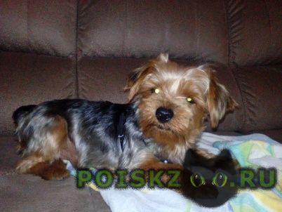 Найдена собака кобель йоркширский терьер г.Саратов