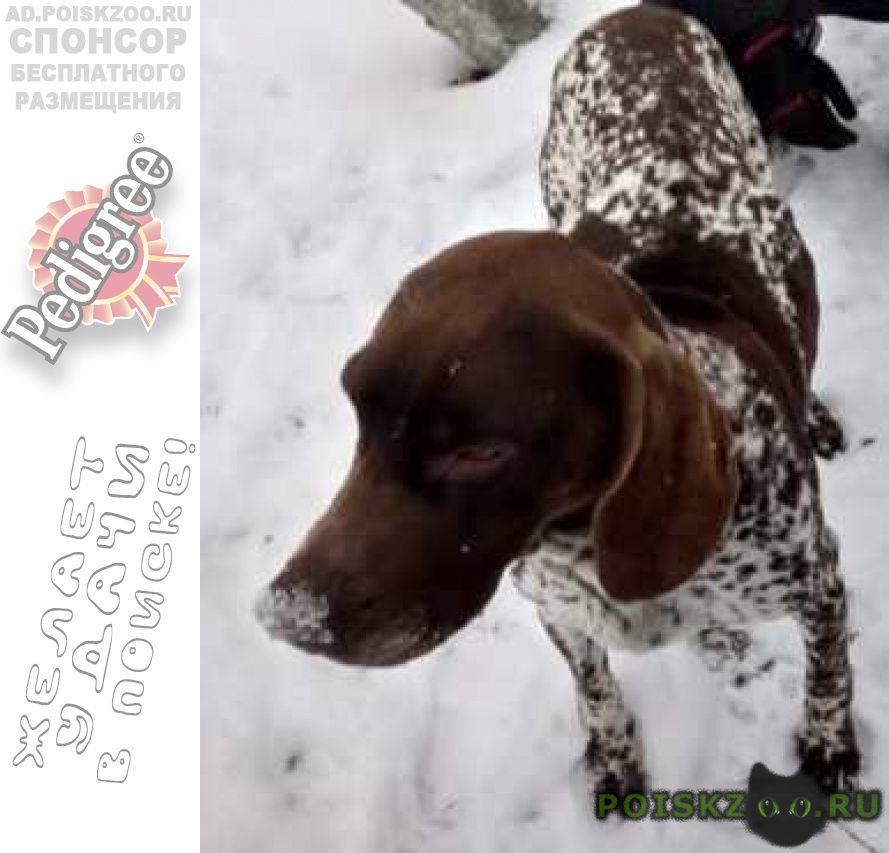 Найдена собака кобель курцхаара г.Шаховская